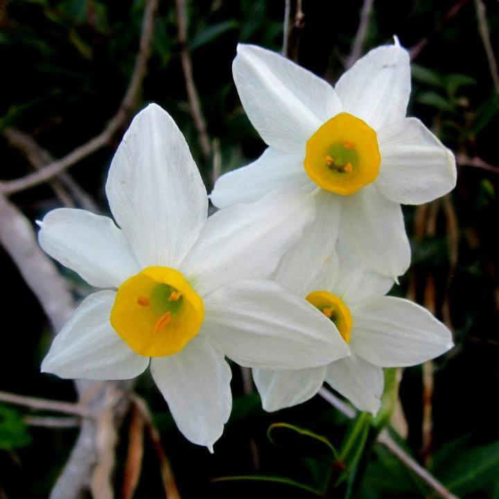 Polyanthus Paperwhite