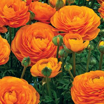Rananculus Orange