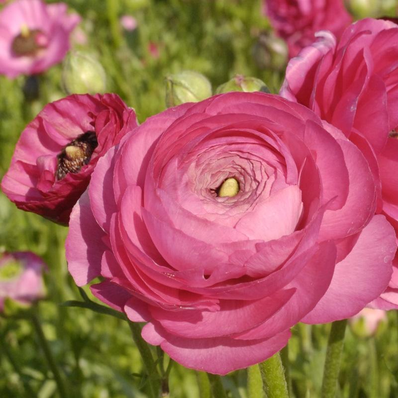 Rananculus Pink