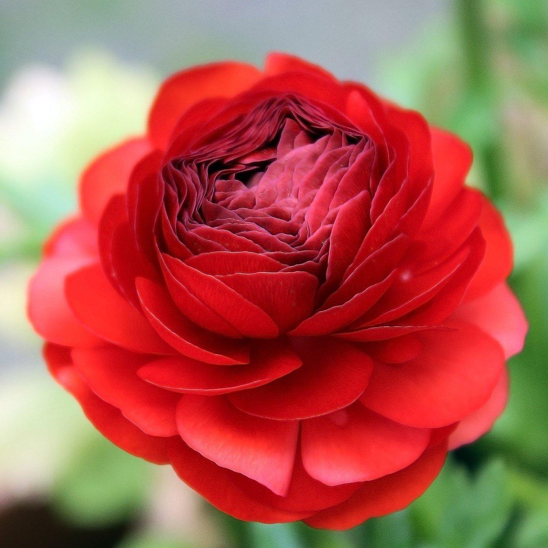 Rananculus Red