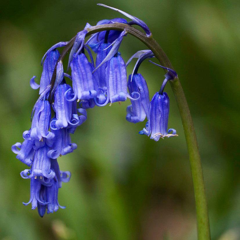 Scilla English Bluebells