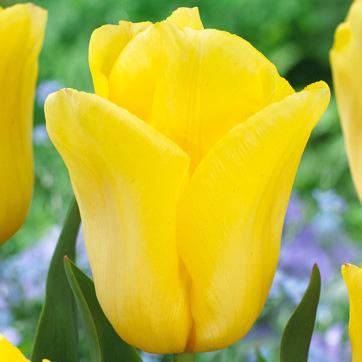 Tulip Bolroy Honey