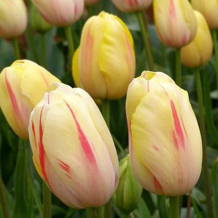 Tulip Camargue