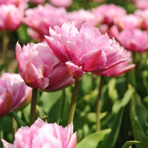Tulip Double Double Price