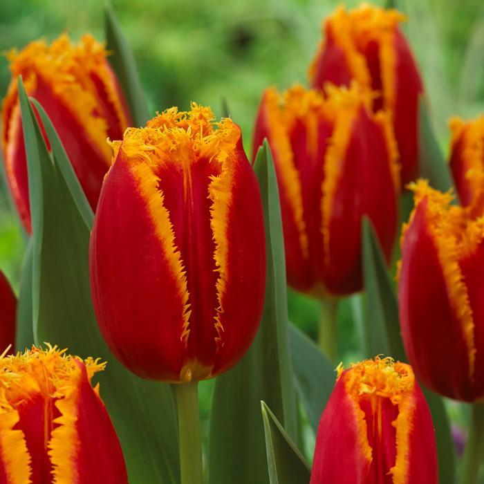 Tulip Frilled Fabio