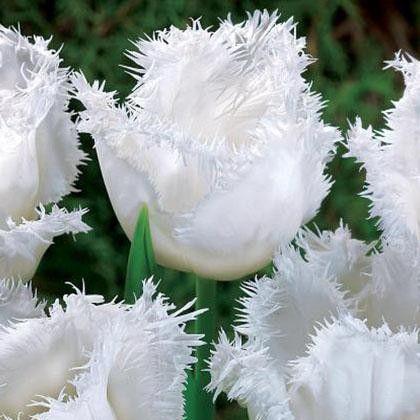 Tulip Frilled Honeymoon