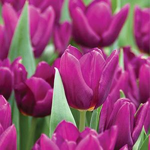 Tulip Heydar Aliyev