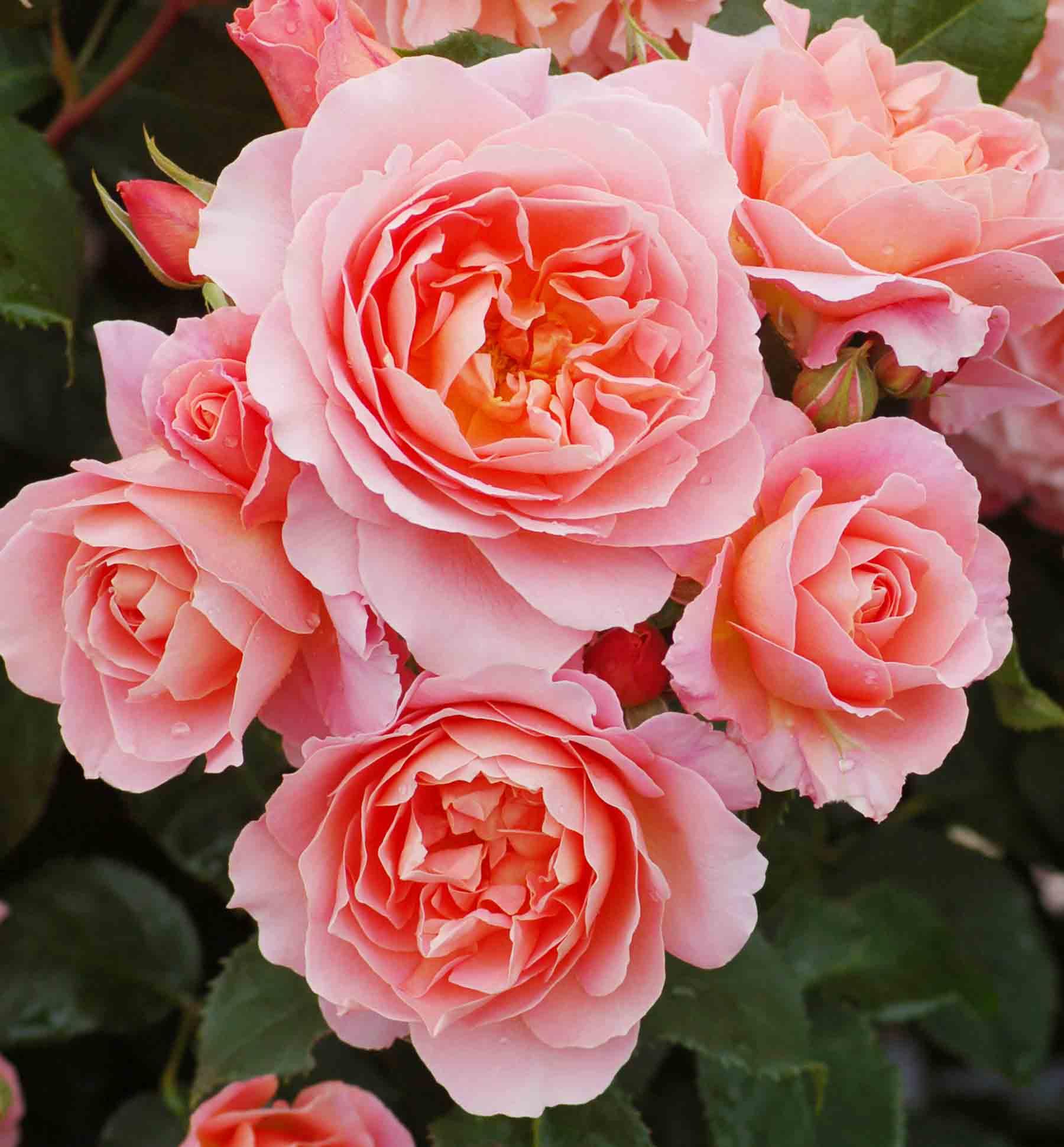 roses-reduced-1.jpg