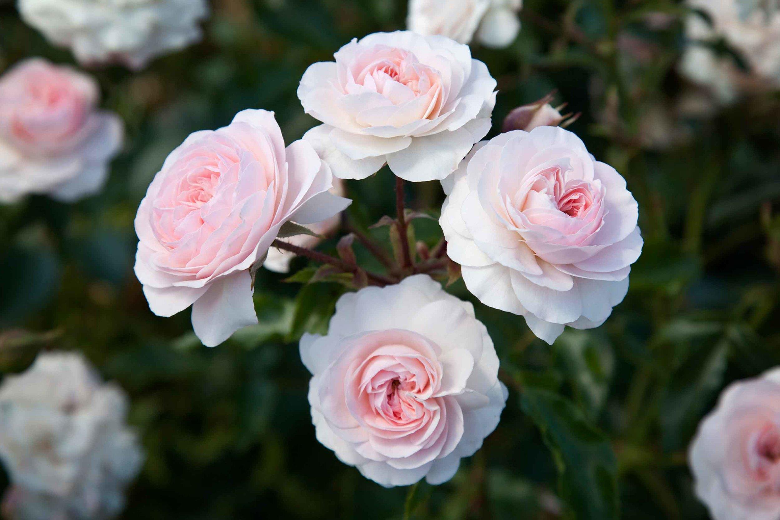 roses-reduced-3.jpg