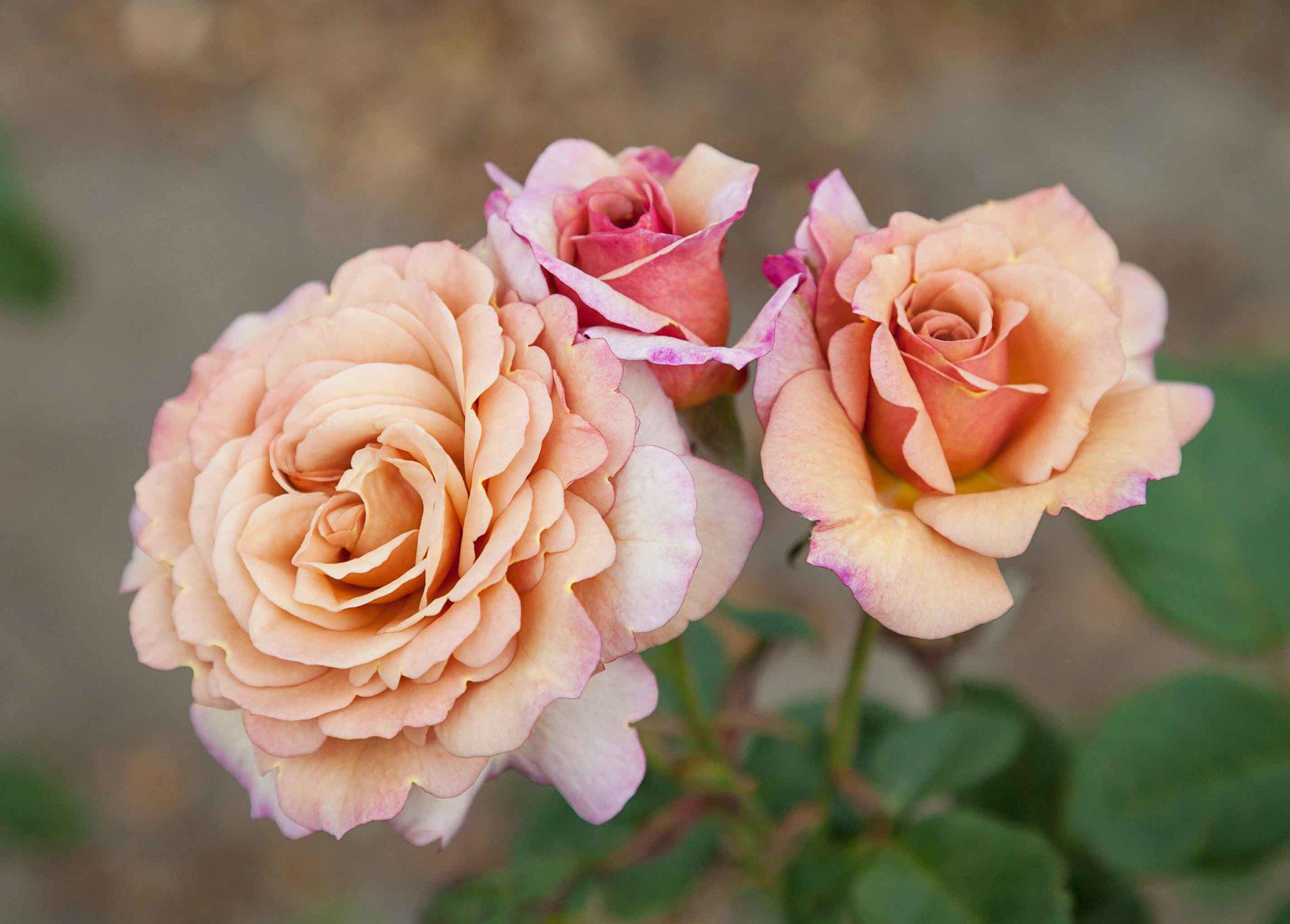 roses-reduced-6.jpg