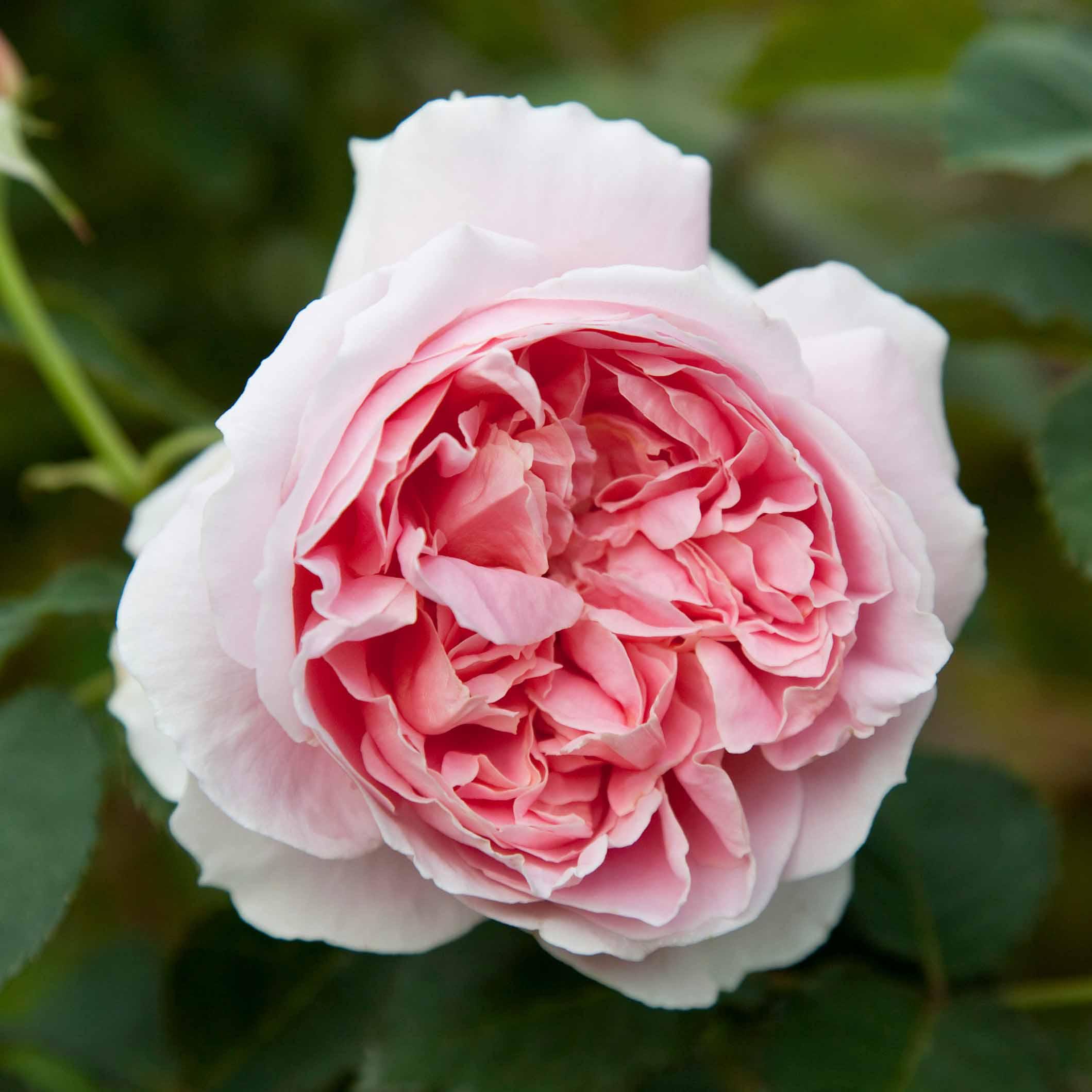 roses-reduced-8.jpg
