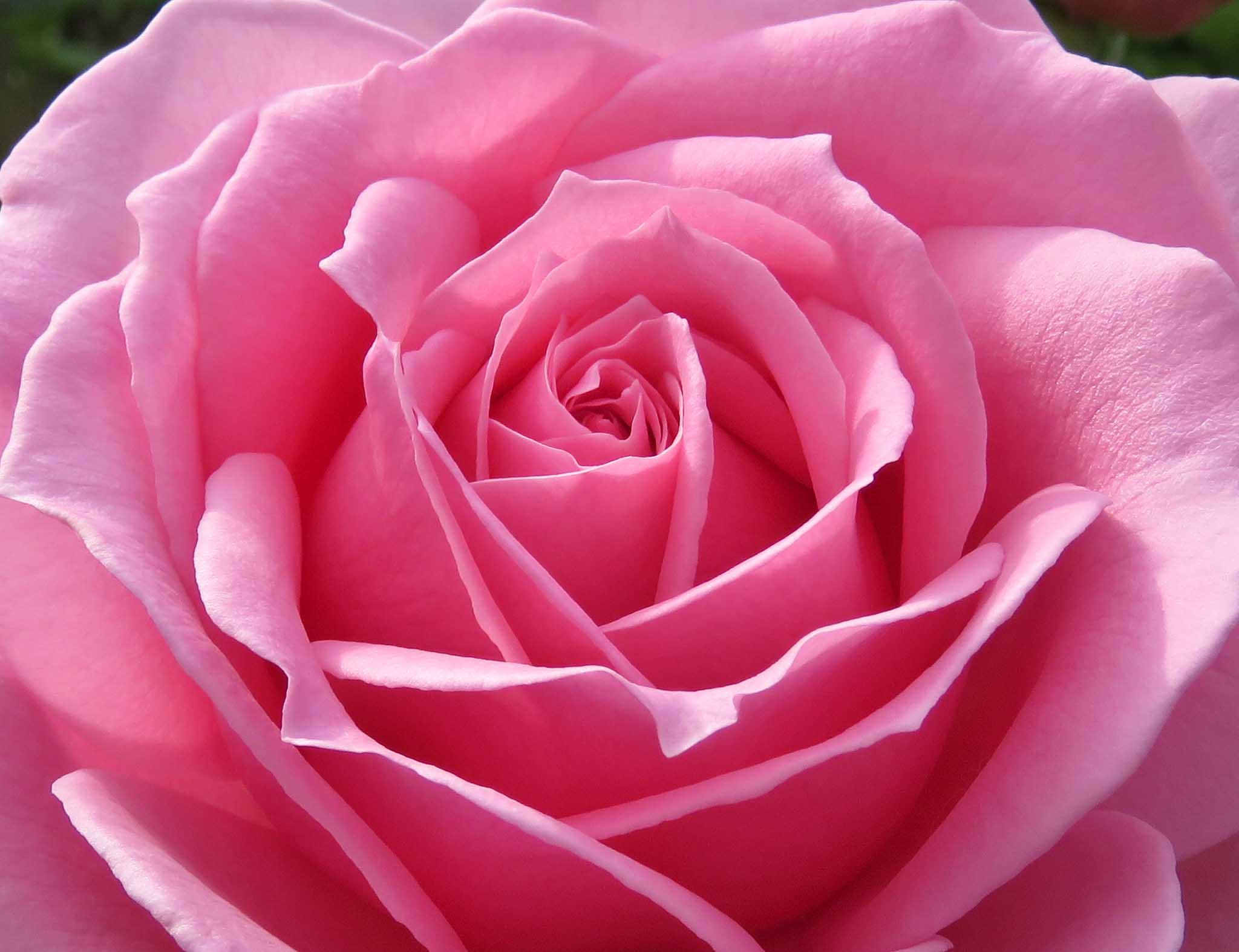 roses-reduced-9.jpg