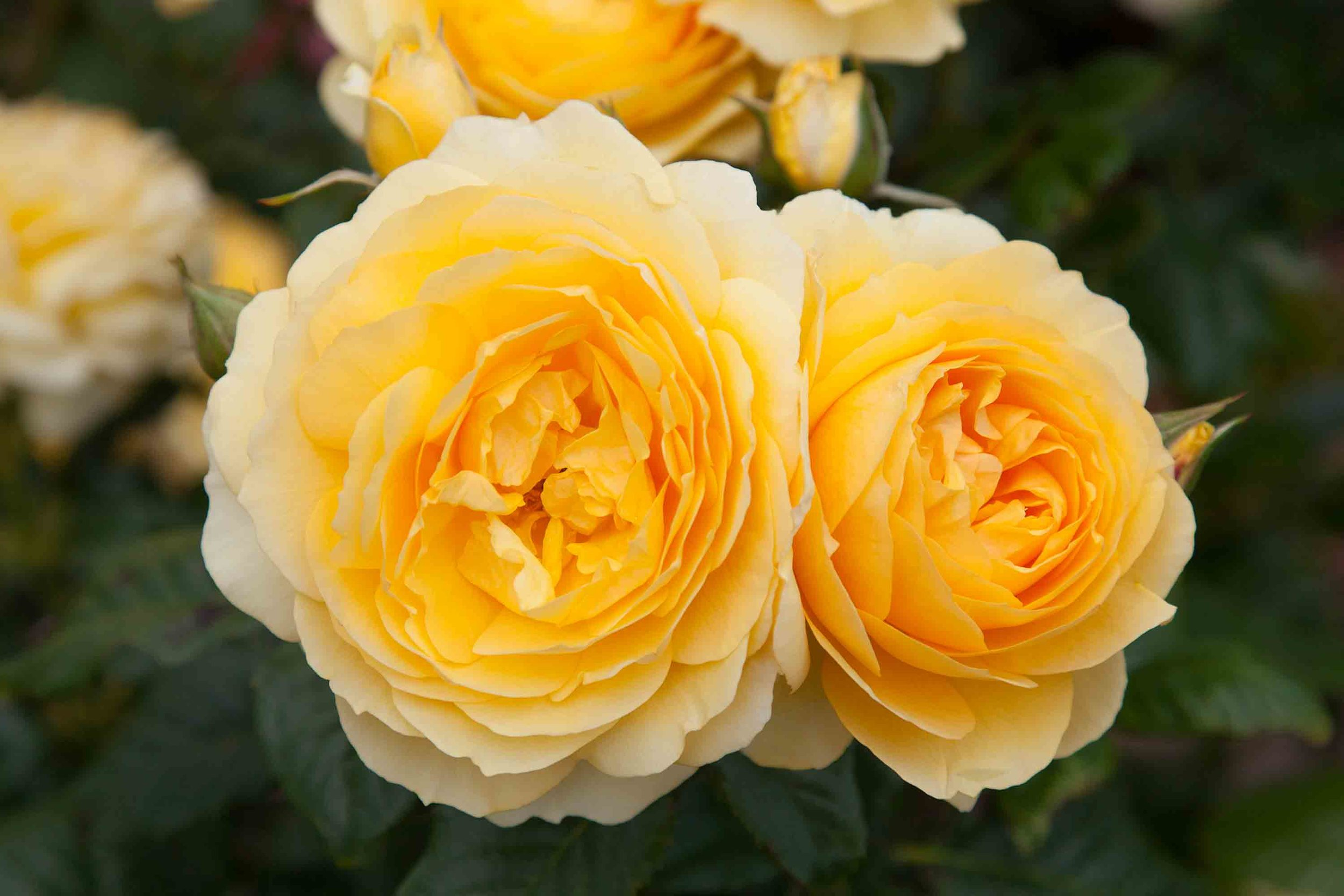 roses-reduced-11.jpg