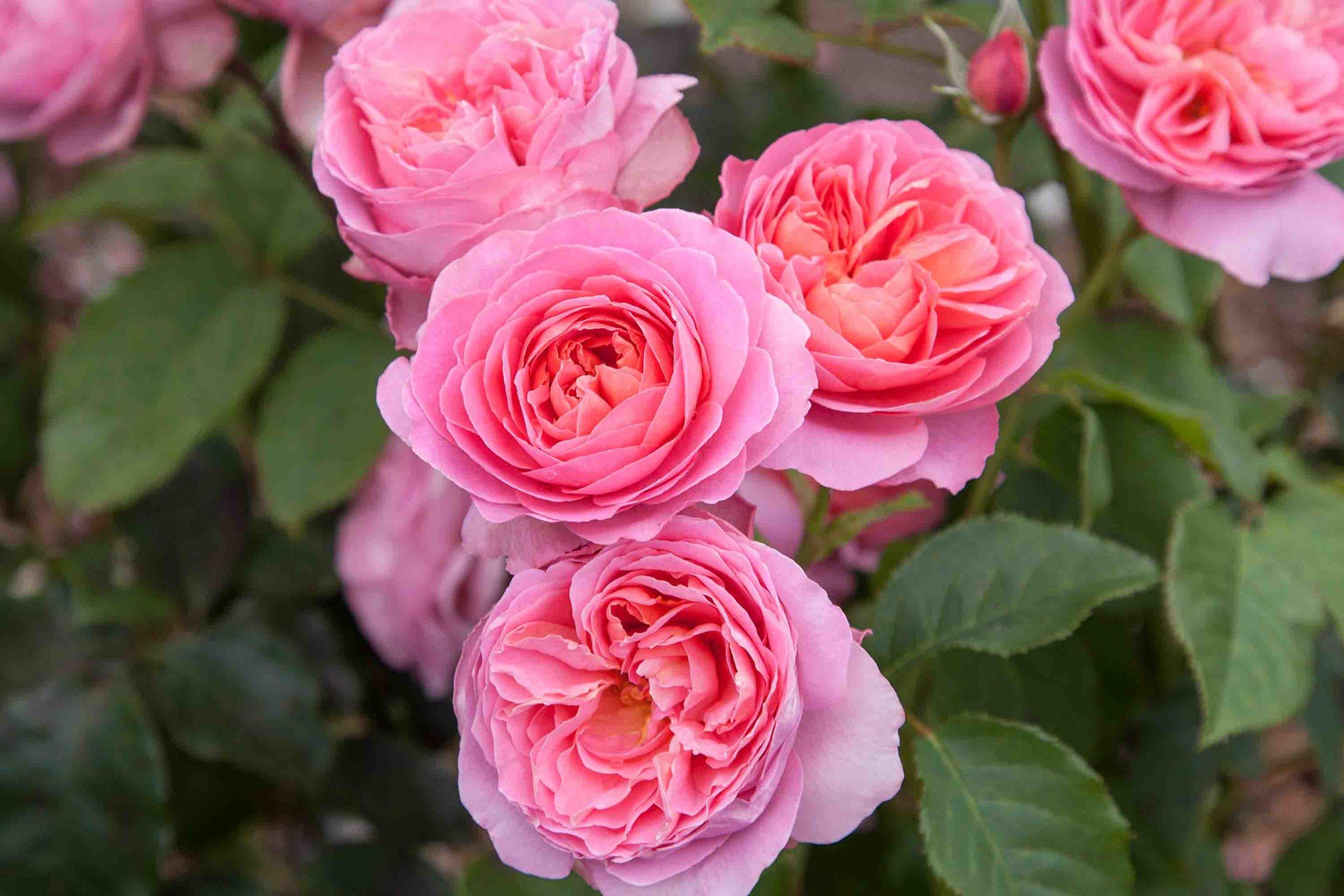 roses-reduced-10.jpg