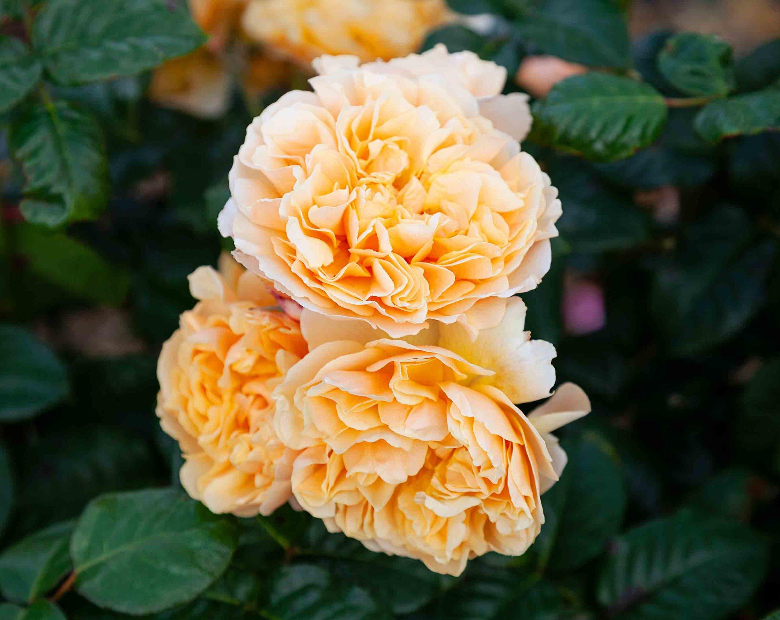 roses-reduced-12.jpg