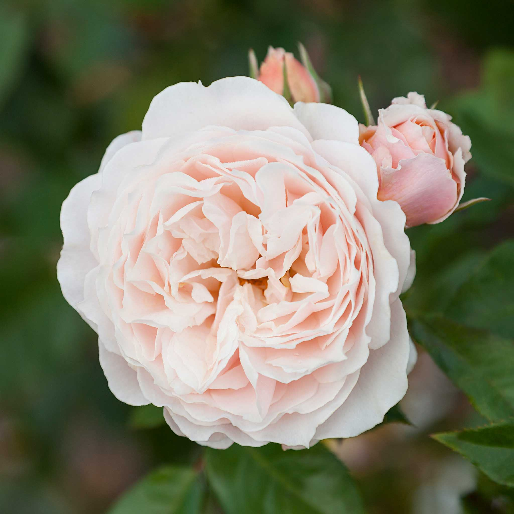 roses-reduced-14.jpg