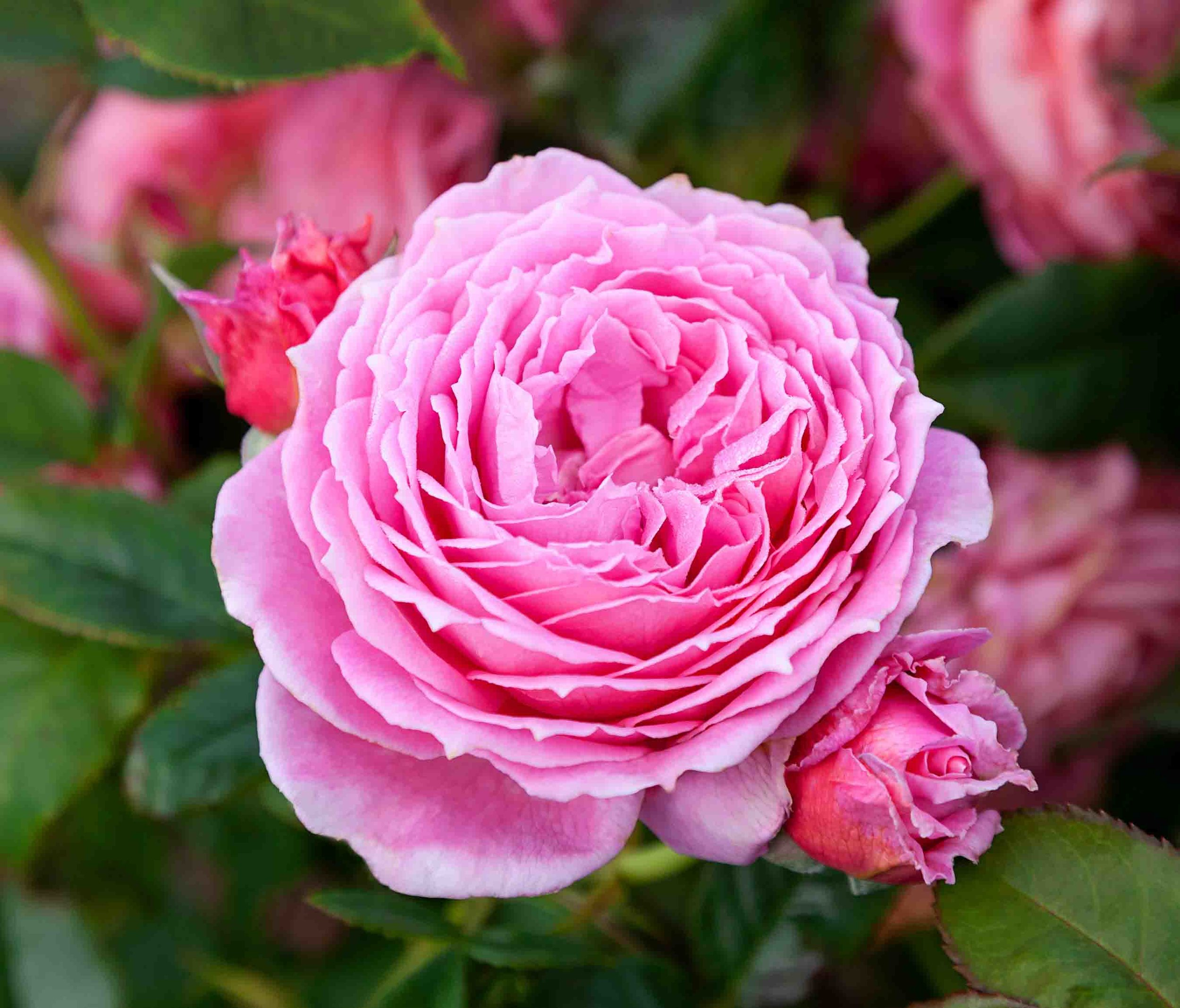 roses-reduced-15.jpg