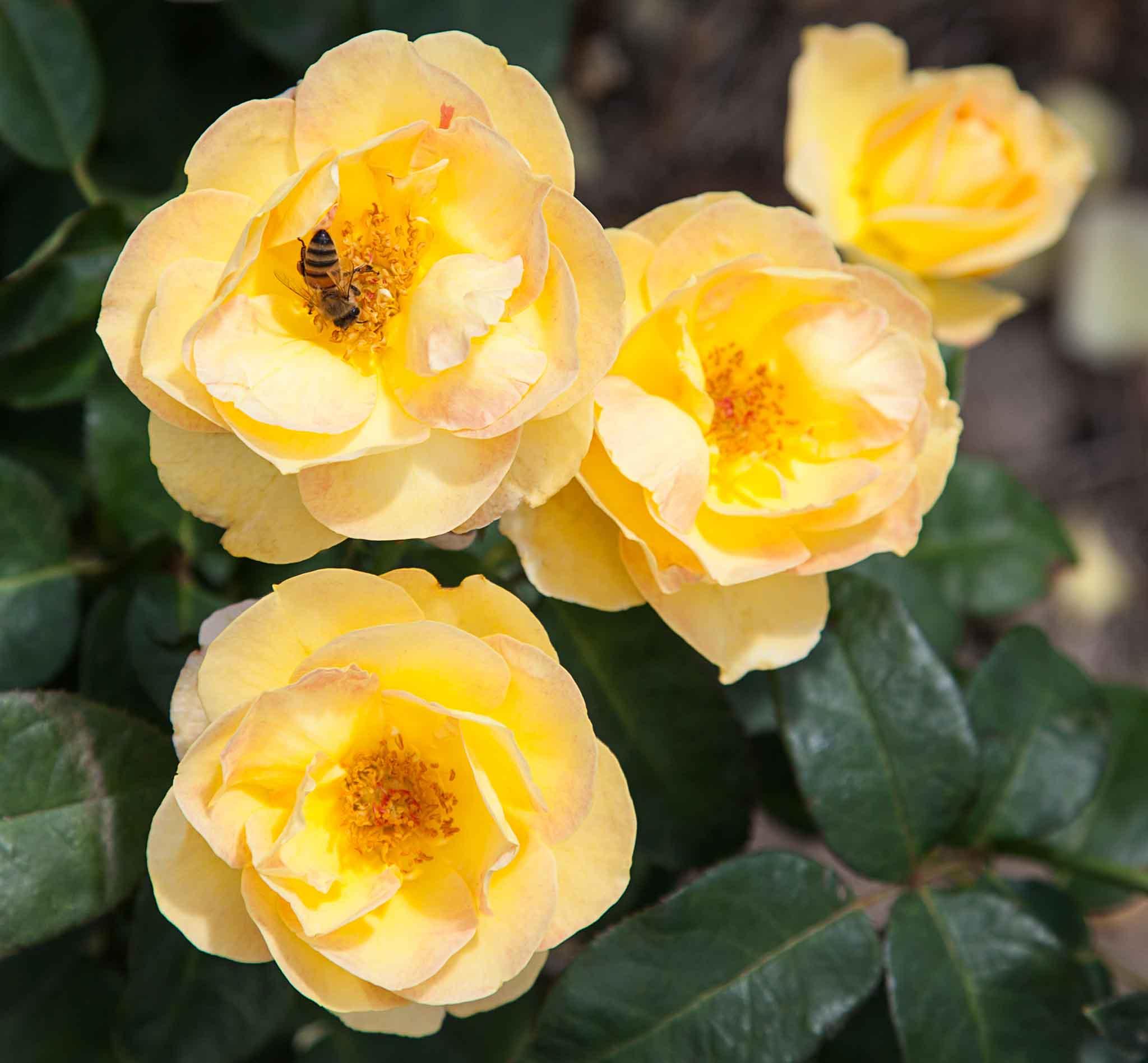 roses-reduced-16.jpg