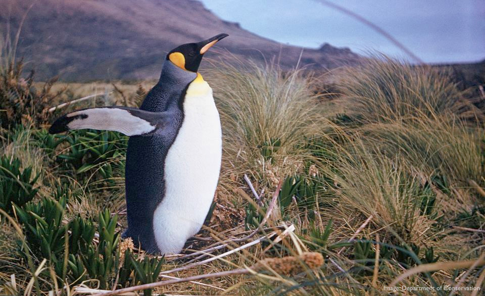 King penguin, Antipodes Islands