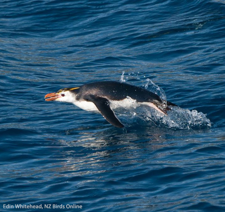 Royal Penguin off Macquarie Island. Image © Edin Whitehead, NZ Birds Online
