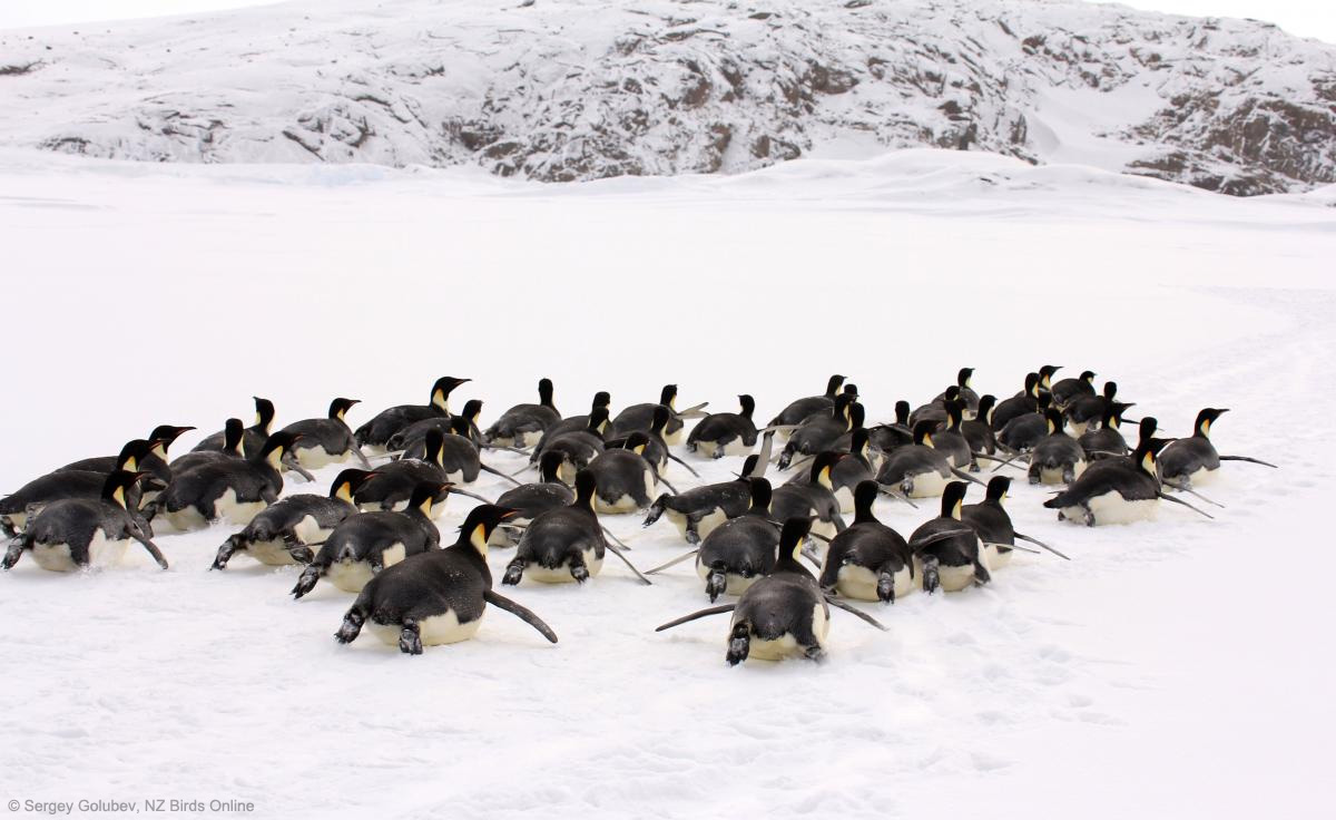 Emperor penguin. Adults tobogganing. Haswell archipelago, near Mirny Station, Antarctica, Image © Sergey Golubev by Sergey Golubev, NZ Birds Online