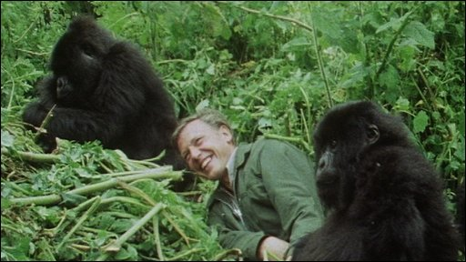 Famous image of Sir David Attenborough two young mountain gorillas in Rwanda.