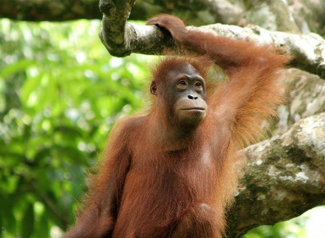orang_utan_at_the_sepilok_orang_utan_rehabilitation_centre_credit_flickr_louise_goggin.jpg