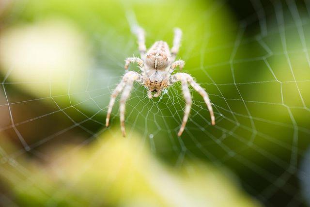 Afgelopen zomer wilde ik met focus stacking aan de slag en had 10 foto's gemaakt van deze spin. Van voor tot achter scherp was het idee. Ik vergat echter de wind en dat het een bezig spinnetje was, op elke foto dus een ander web én spinnetje 🤪 #spiders #spider #spidersofig #spidersweb #kings_macro #top_macro #macro #igbest_macro #instanature #instamacro #macrophoto #d810 #105mm