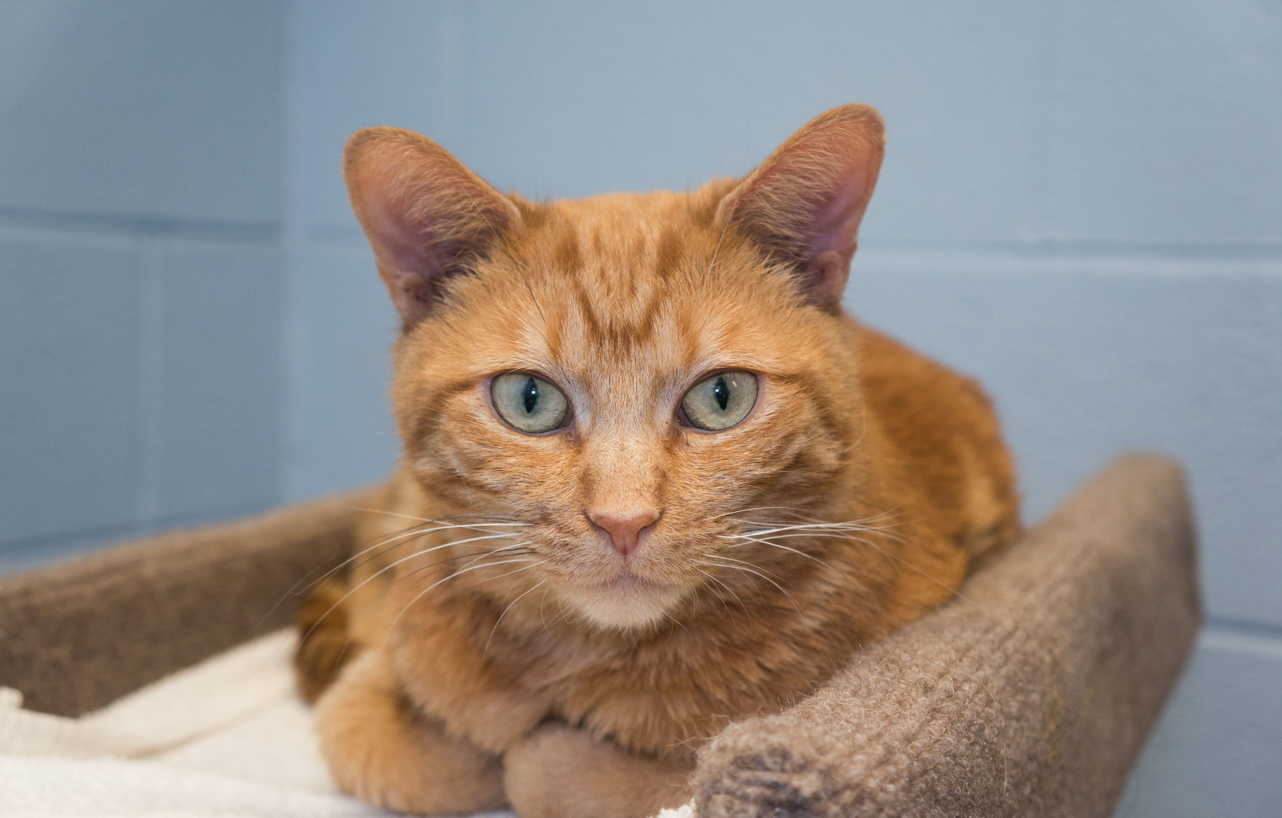 Adopt a Cat - Click above to see our available cats