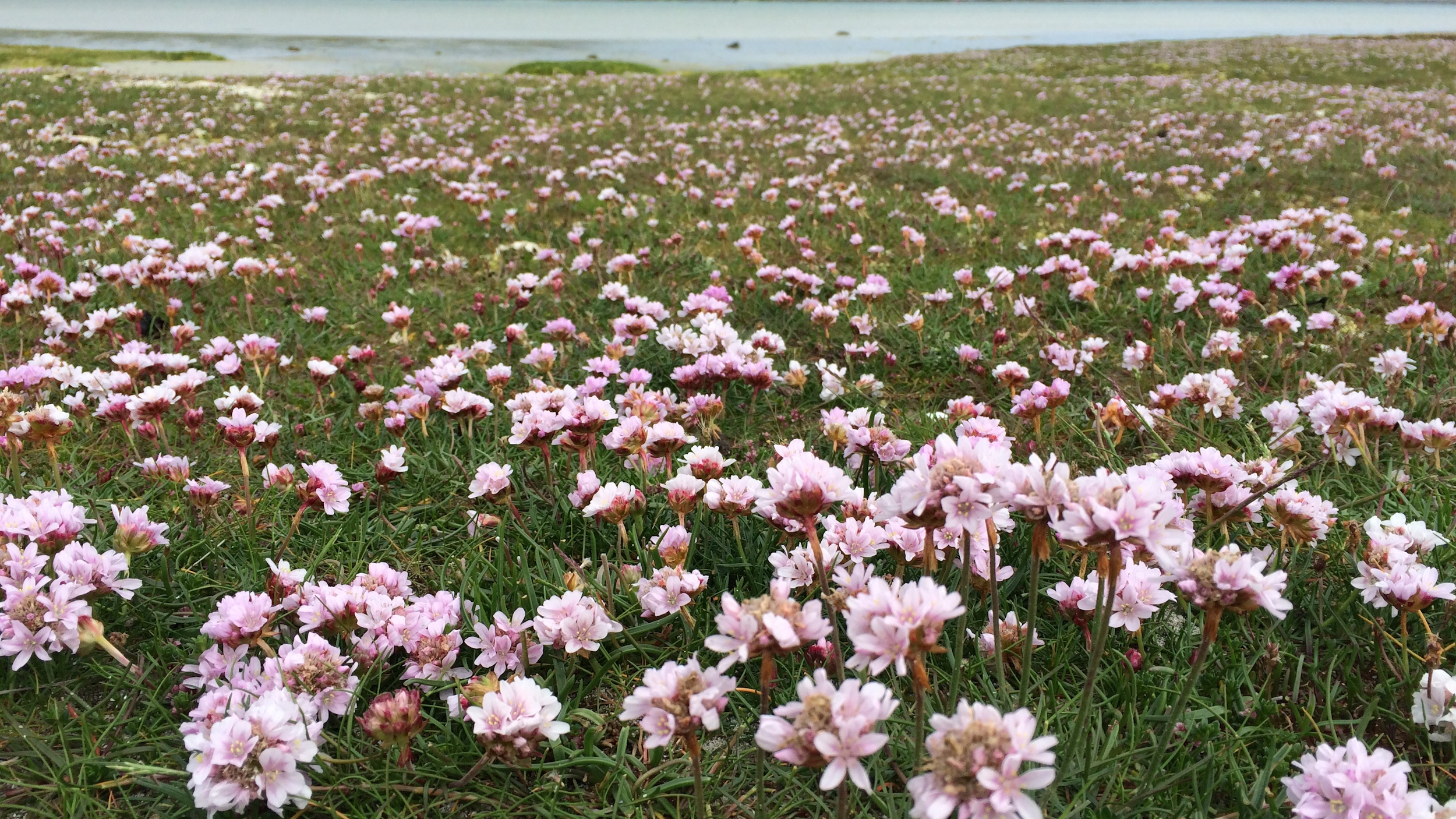 Sea Pinks.JPG