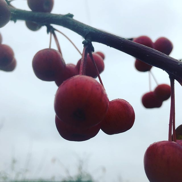 #winterberries #malus #gardennursery