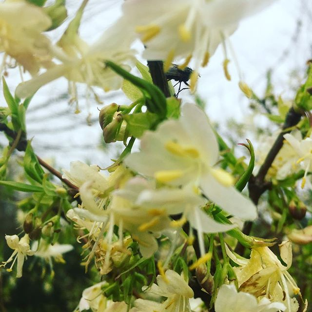 Spring is in the air - The heady scent of Lonicera #gardening #gardencentres #gardennursery #spring