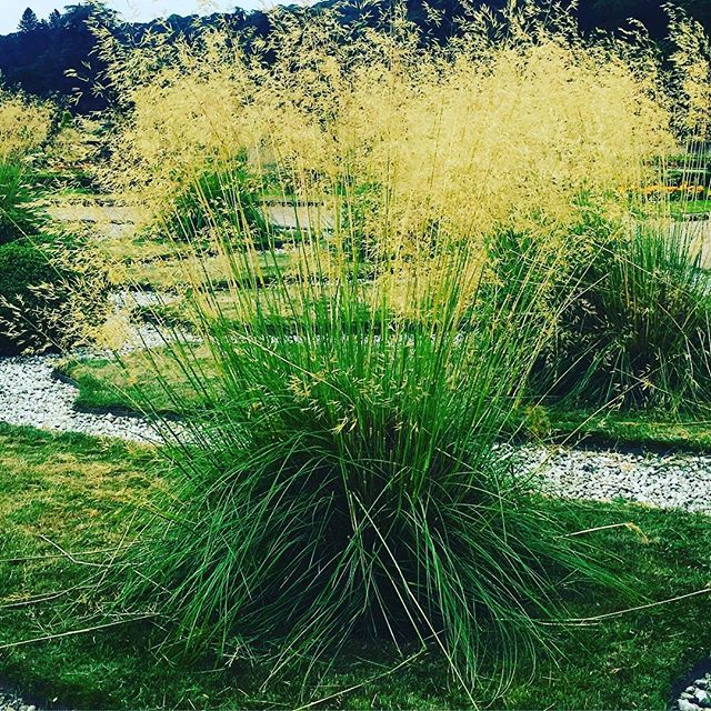 Beautiful stilpa gigantea or golden oat grass. These architectural decorative grasses make a real feature as they grow to about 2m. #garden #gardens #gardener #gardening #grasses #architecturalplants #healthylifestyle