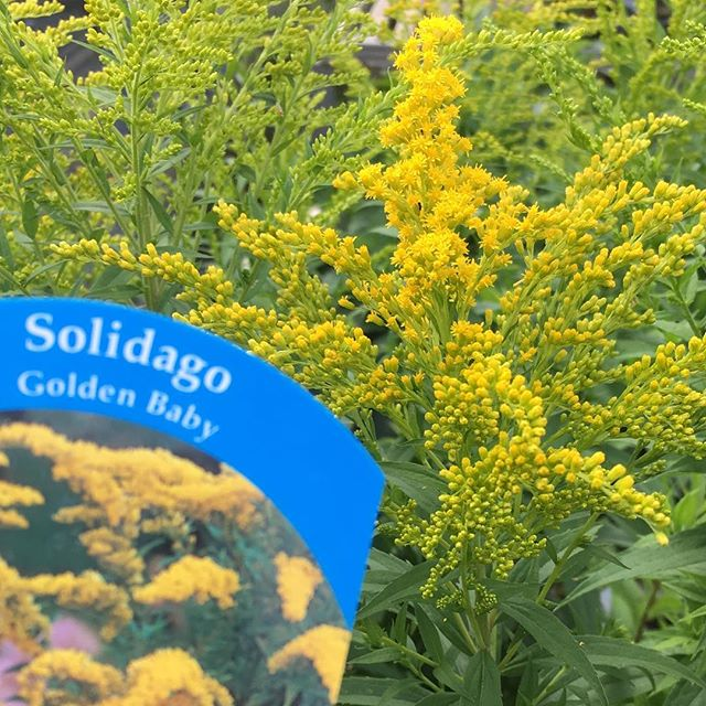 """Solidago """"Golden baby"""" is a dwarf form of this popular perennial. Unlike most it grows to around 60cm and offering a paniculate arrangement of yellows it is great as part of a perennial or 'cottage style' border. As a perennial it will die back and come again next year. #perennials #plants #gardendesign #gardening #colour #gardenspaces #openspaces #healthylife"""
