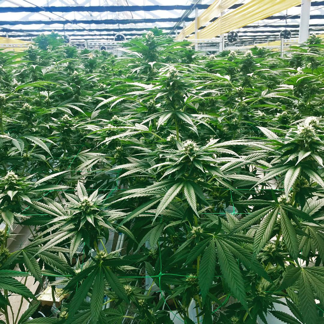 A good look at the Triangle Kush being cultivated by Josh D Farms