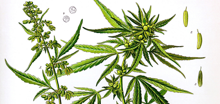 hemp-marijuana-difference-1.jpg