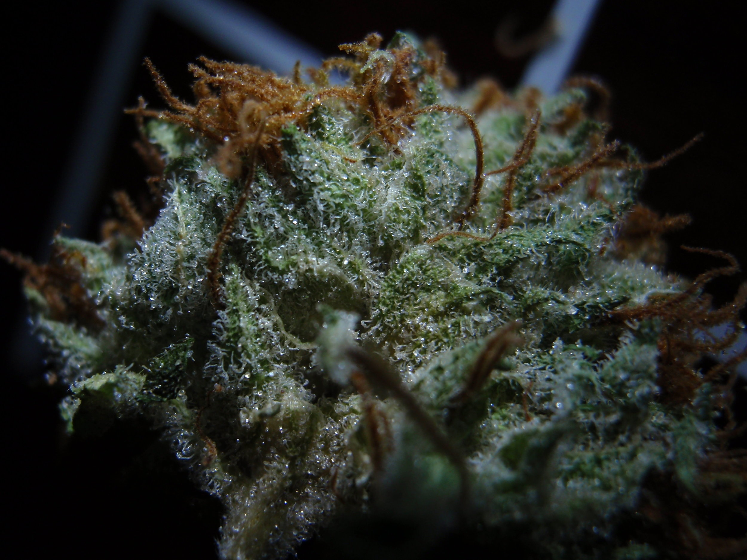 Cannabis Nug Close Up, for Neptune Seed Bank