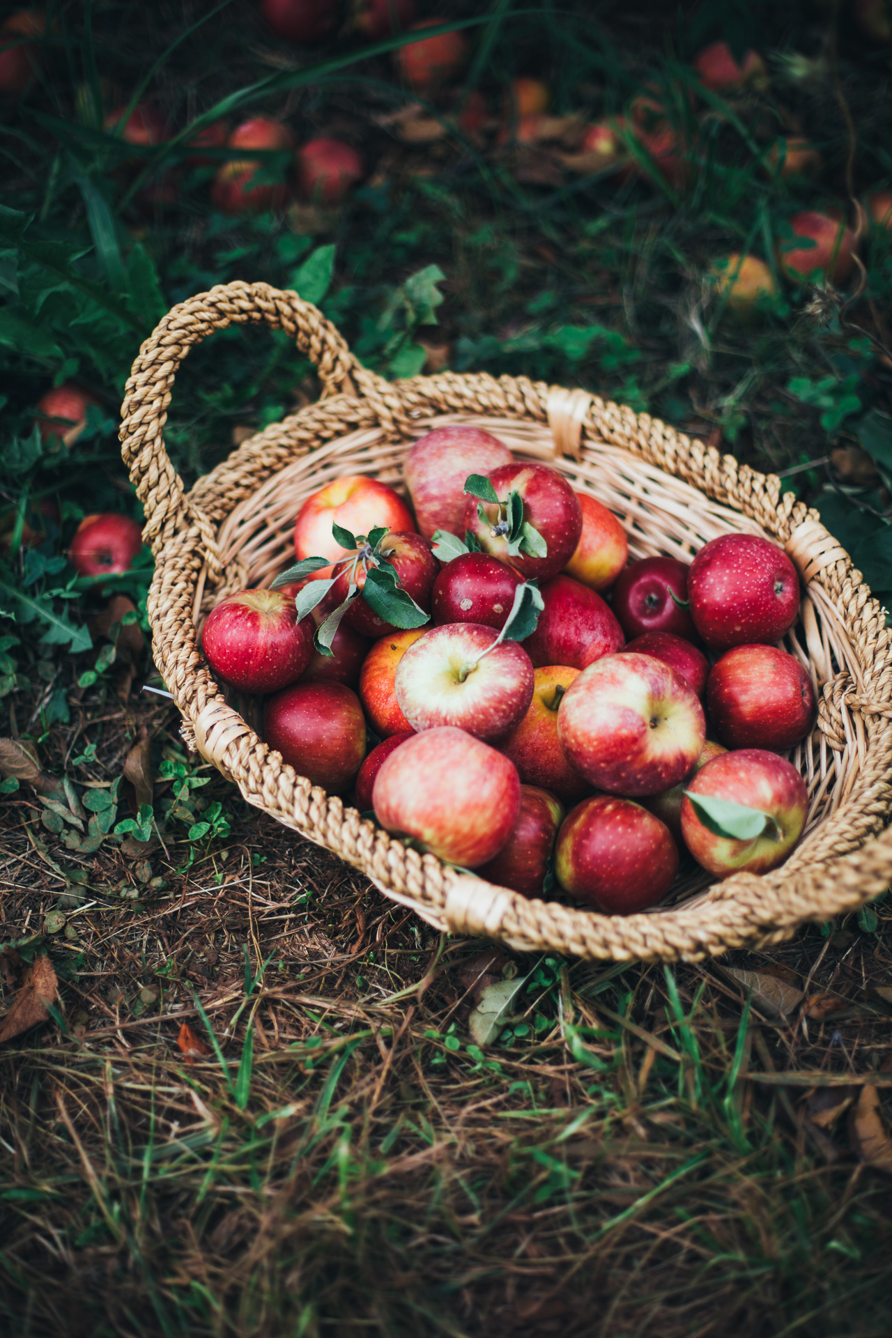 apple picking in charlottesville, va | willfrolicforfood.com