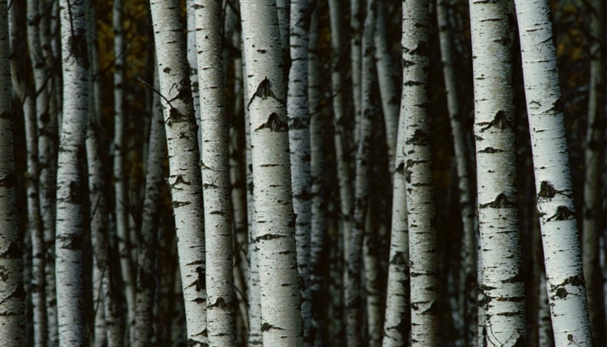 Many gardeners believe that planting three or more birches together increases the visual impact of the trees. -