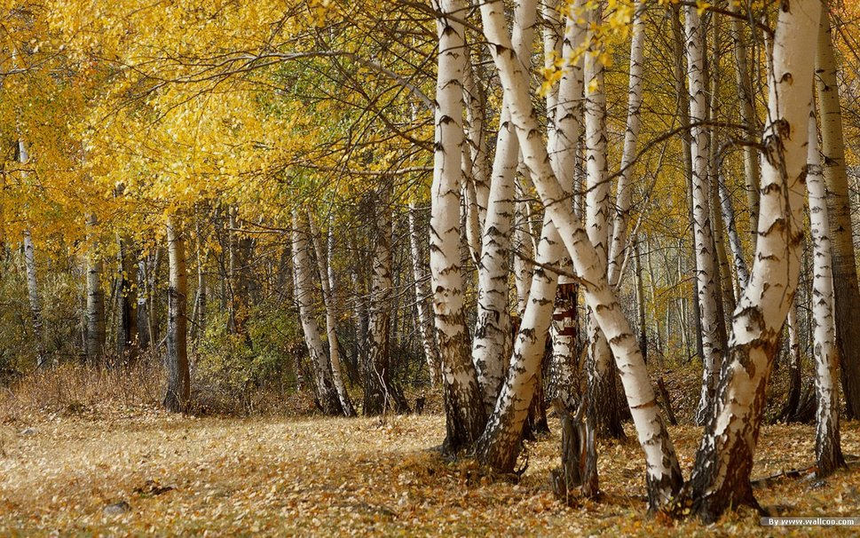 - The birch is a pioneer tree that quickly establishes on land that may have been damaged -- it was one of the first species to thrive after the Ice Age.