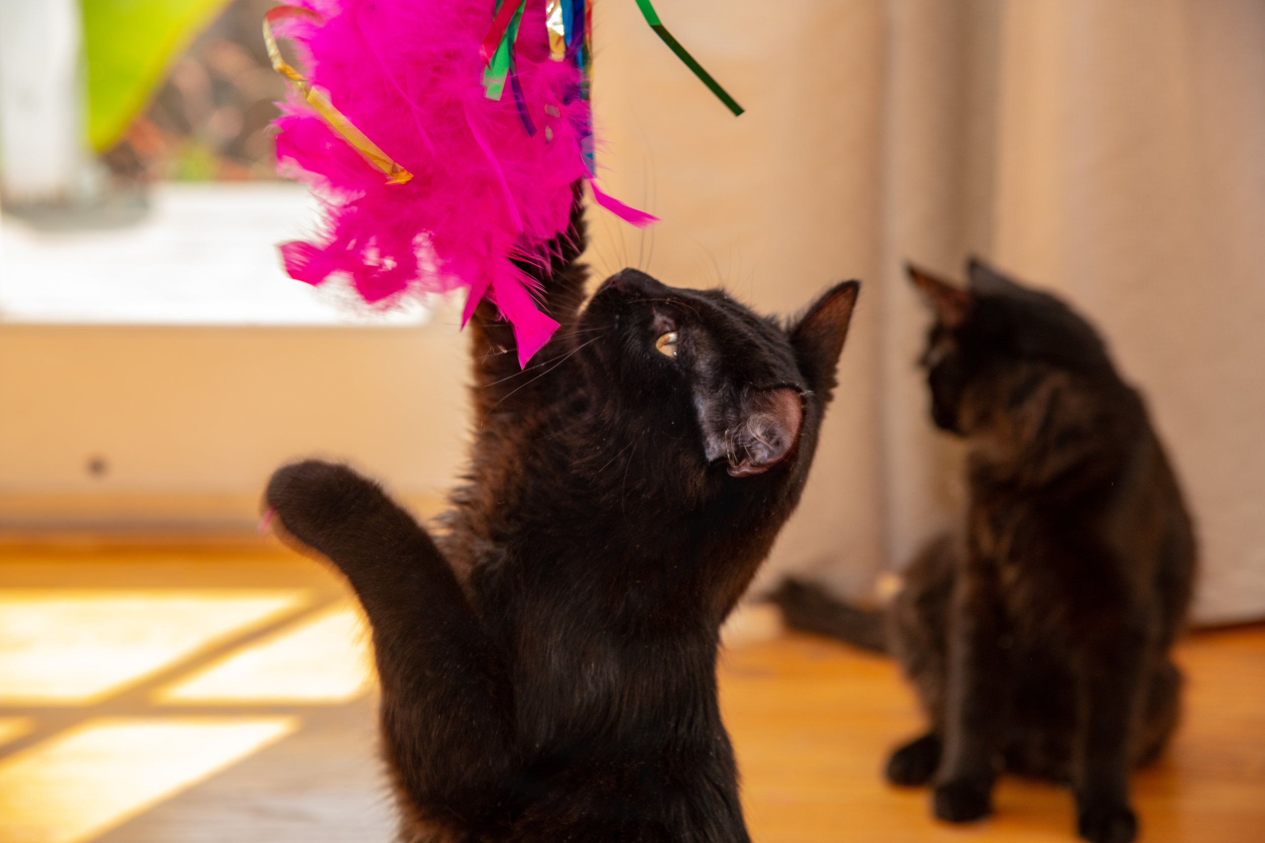 Violet & Vinnie - Violet and Vinnie are 6 month old bonded beautiful black kittens. They will cuddle and purr and play all day and sometimes you'll find yourself in a trance watching how beautiful they are. They are litter box trained and ready for their forever home.
