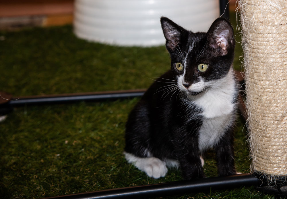 Diane - Diane is 9-10 weeks old. This curious cutie is Diane, nicknamed Diane Kitten. Star quality like the actress, Diane Keaton, she has a big personality and is very active. Friendly with other cats and likes the occasional human pet.