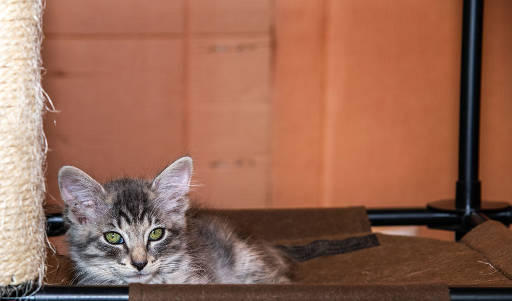 Henry - Henry is 6 weeks old and is a timid, shy guy, but don't mistake his lack in energy for personality. He tends to stay back when others play but if he is in the mood, will participate in a good chase. He tends to be a little clumsy so prepare for extra cuteness when he falls down into you or on his toys. You'll get there, Henry!