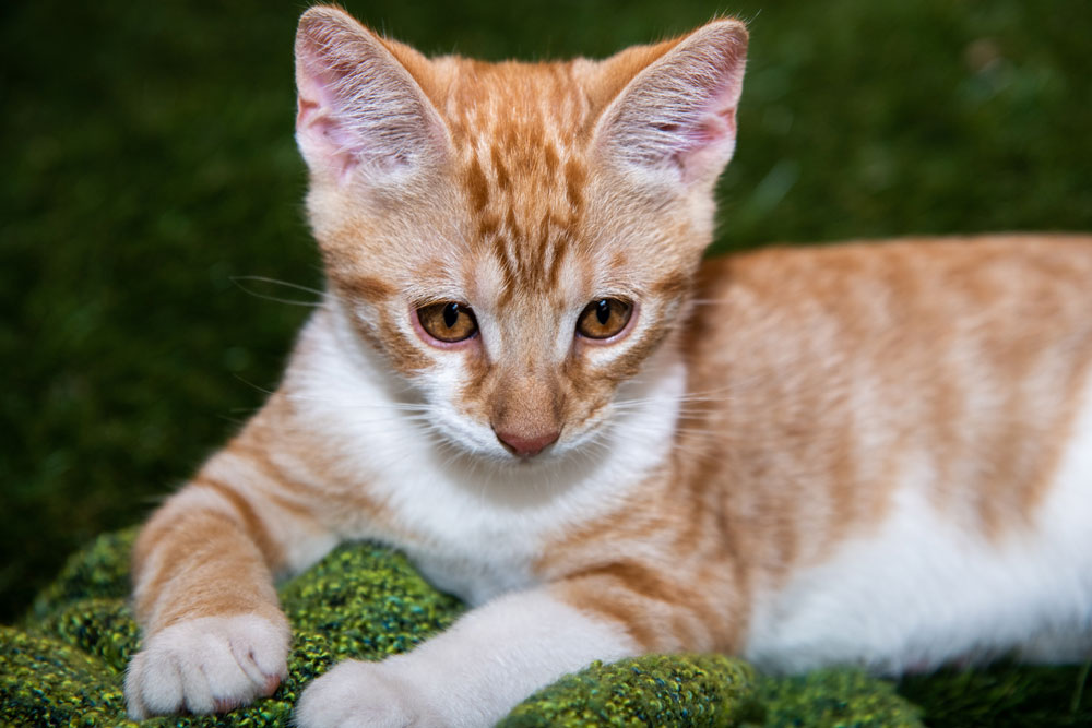 Red - Don't be mistaken by the confidence, Big Red is a big softie. Loves to be held and will show his appreciation with the loudest of purs. A curious guy who forgets his size when it comes to being a lap-cat. He is 9-10 weeks old.