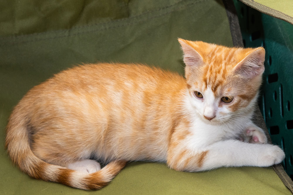 Squirt - Squirt is 9-10 weeks old. A classic cutie with a big heart. He tends to be timid upon first meeting, but once he trust you he'll be your biggest fan. He loves to show off at playtime and plays well with others.