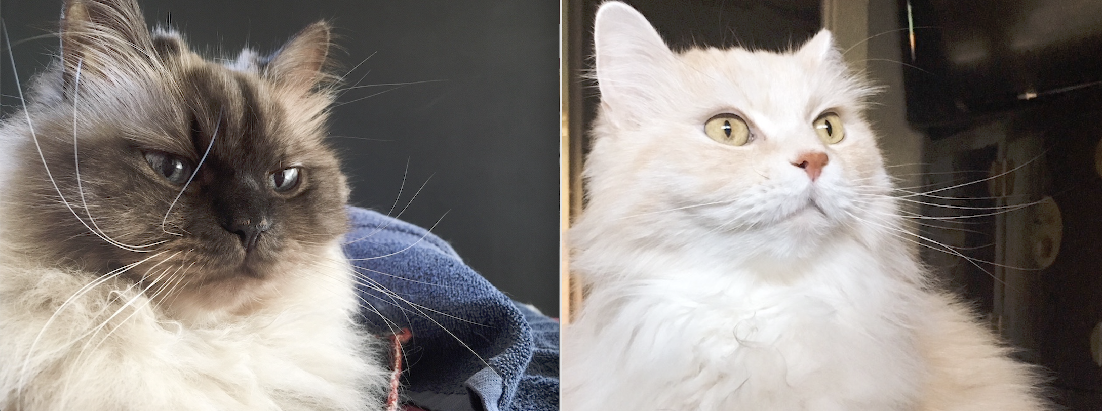 Jackson & Buckley - Jackson and Buckley are two bonded 12 year old purebred Himalayan boys and they need a new home ASAP. They are both healthy and super loving! They won't survive a pound so let's all make sure they never have to consider that option.