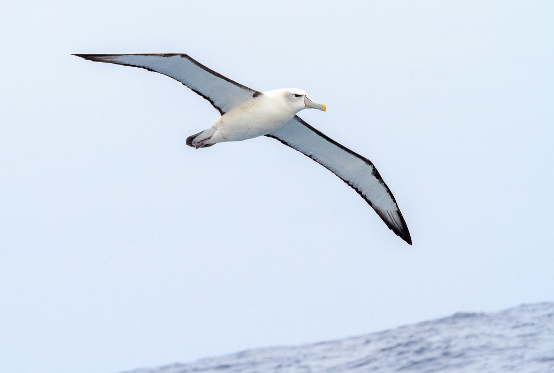 WC albatross.jpg