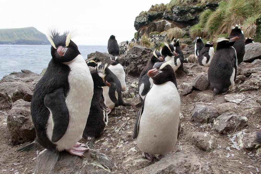 Erect crested penguins.jpg