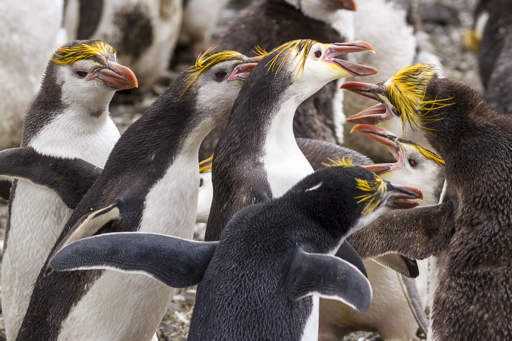 Royal penguins.jpg