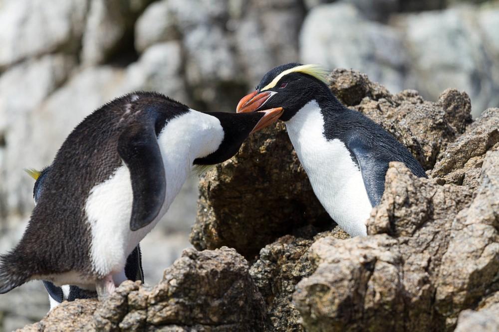 Snares crested penguins.jpg